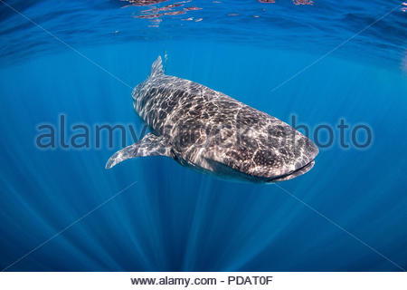 whale shark - Rhincodon typus - near Holbox (Mexico) - Stock Photo