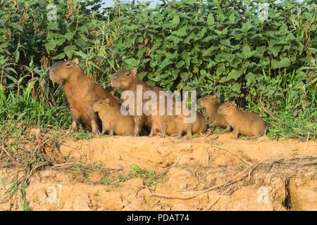 Capybara family Hydrochaeris hydrochaeris on a river bank, Cuiaba River, Pantanal, Mato Grosso, Brazil - Stock Photo