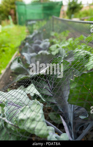 Cabbage under netting at an allotment garden, UK. - Stock Photo