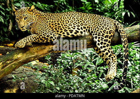 Leopard - Everyone loves a cat. Few will get to see the leopard in its natural habitat. Those who do are fortunate indeed! - Stock Photo