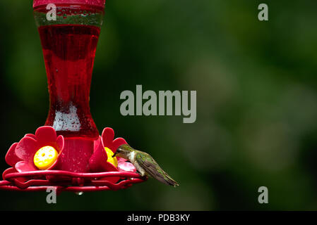 Hummingbird perched on red nectar feeder - Stock Photo