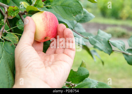 Gardener hand picking red apple. Female hand reaches for the apples on the tree - Stock Photo