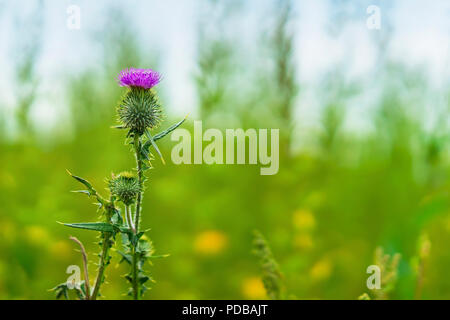 Thistle flower close up on green grassy background with sky, selective focus - Stock Photo