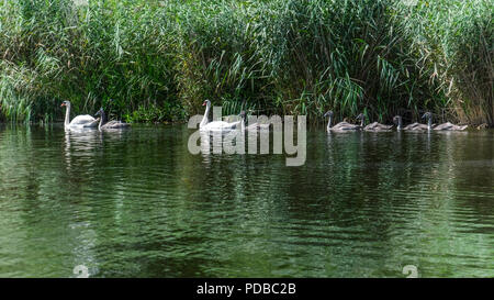Germany, River Peene - Peenetal nature conservation park. Swan family - Two mute swans and six cygnets on swimming tranquil water - Stock Photo