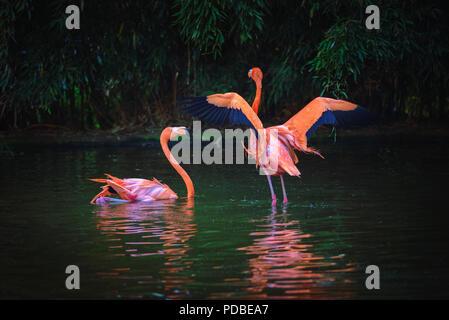 Two Caribbean Flamingos in a lake - Stock Photo