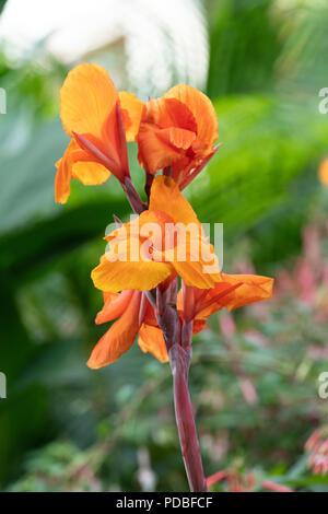 Canna Lily 'Phasion'. Canna 'Durban' flowers - Stock Photo