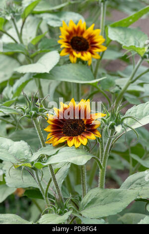 Helianthus annuus 'Ring of Fire' . Sunflower 'Ring of Fire' in an english garden. UK - Stock Photo