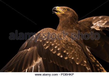 A lesser spotted eagle, Aquila pomarina, at Sia, the Comanche Nation Ethno-Ornithological Initiative. - Stock Photo
