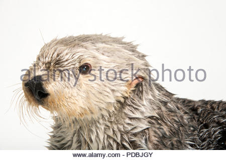 A southern sea otter, Enhydra lutris nereis, at the Aquarium of the Pacific. - Stock Photo