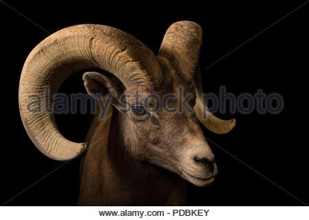 A male desert bighorn sheep, Ovis canadensis nelsoni, at the Arizona Sonora Desert Museum. - Stock Photo
