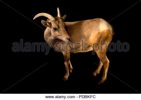 A female desert bighorn sheep, Ovis canadensis nelsoni, at the Arizona Sonora Desert Museum. - Stock Photo