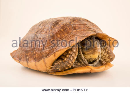 Northern spotted box turtle, Terrapene nelsoni klauberi, at the Arizona-Sonora Desert Museum. - Stock Photo