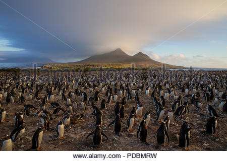 A gentoo penguin colony on Steeple Jason Island. - Stock Photo