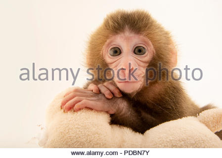 A Japanese macaque or snow monkey, Macaca fuscata, at the Blank Park Zoo. - Stock Photo
