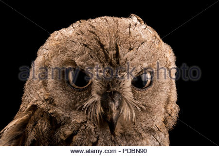 Eurasian scops owl, Otus scops scops, at Alpenzoo in Innsbruck, Austria. - Stock Photo