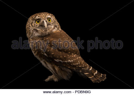 Eurasian pygmy owl, Glaucidium passerinum passerinum, at Alpenzoo in Innsbruck, Austria. - Stock Photo