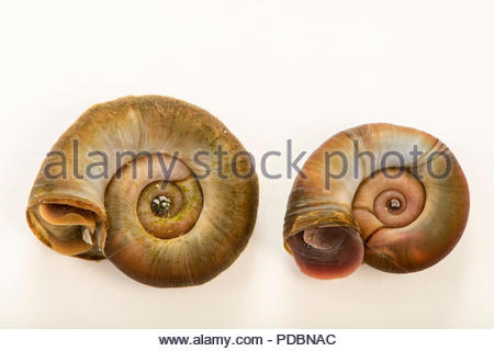 Great ramshorn snails, Planorbarius corneus, at Alpenzoo in Innsbruck, Austria. - Stock Photo