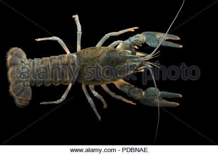 European crayfish, Astacus astacus, at Alpenzoo in Innsbruck, Austria. - Stock Photo