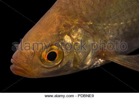 Common rudd, Scardinius erythrophthalmus, at Alpenzoo in Innsbruck, Austria. - Stock Photo