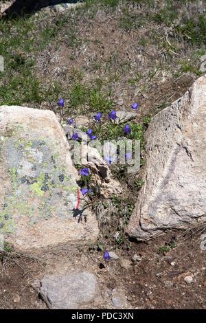 Alpine Bellflower growing in crevis on  the Rasciesa above the Val Gardena summer Dolomites Italy - Stock Photo