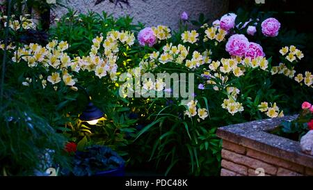 Beautiful mixed display of Alstroemeria also known as Peruvian lily and pink peonies with so outdoor garden lighting - Stock Photo
