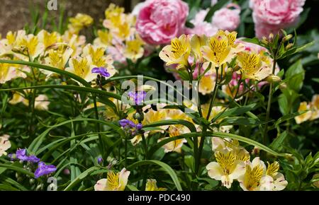 Alstroemeria 'Yellow Friendship' also known as Peruvian lily with pink Peonies in the background - Stock Photo