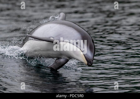 Pacific white-sided dolphin (Lagenorhynchus obliquidens) jumping in the Broughton Archipelago, First Nations Territory, British Columbia, Canada. - Stock Photo