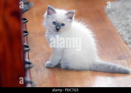 A cute Ragdoll kitten only 2 weeks old. - Stock Photo