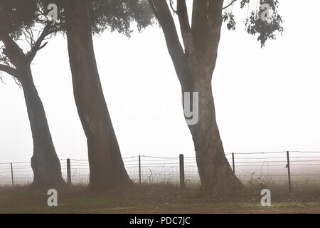Three Gum Trees in an early morning foggy scene on a rural road. - Stock Photo