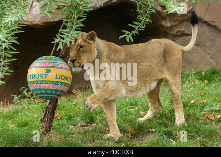 London Zoo. UK 9 Aug 2018 - London Zoo's Asiatic lionesses, Heidi, Indi and Rubi, playing with Boomer balls to mark World Lion Day which is on 10 August. The balls painted with a burst of vibrant colours inspired by Gujarat, home to Asiatic lions in Western India and scented with the pride's favourite aromatic herbs and spices for the feline festivities.  Credit: Dinendra Haria/Alamy Live News - Stock Photo