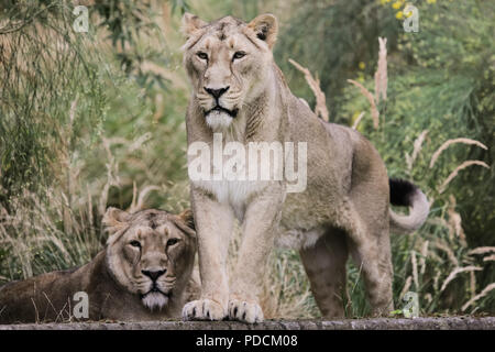 London, UK. 9th August, 2018. ZSL London Zoo's Asiatic lionesses celebrate World Lion Day. Credit: Chris Aubrey/Alamy Live News - Stock Photo