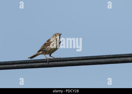 A pretty Meadow Pipit (Anthus pratensis) perching on a cable against a blue sky. - Stock Photo