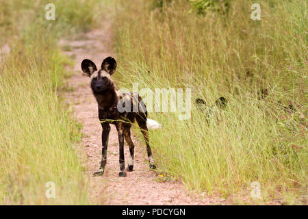 The alpha male of the Jongomera pack in Ruaha National Park where it seems the dogs are having a revival and numbers are slowly in the increase. - Stock Photo