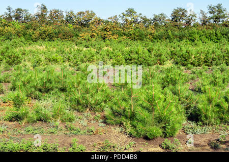 Rows of small bright pine trees at coniferous nursery garden. Growing young conifers at open air gardening plantation - Stock Photo