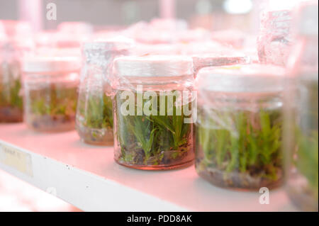 Close up row of glass bottle plant tissue culture on shelf in laboratory. - Stock Photo