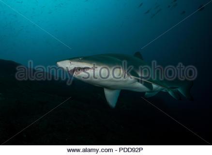 Grey Nurse/Sand Tiger/Ragged Tooth Shark - Stock Photo