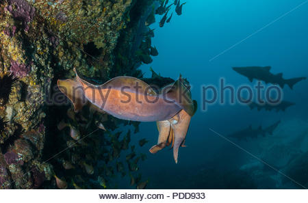 Giant Cuttlefish with shark silhouettes in the background - Stock Photo