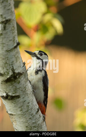 Male of Greater Spotted Woodpecker (Dendrocopos major) on the trunk of a birch tree and looking for insects under the bark.July morning in Poland. Clo - Stock Photo