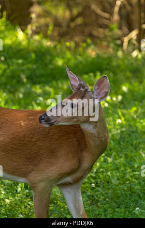 Young Male White tailed deer in the forest - Stock Photo