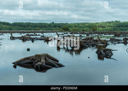 Blakemere Moss in Delamere Forest, Cheshire, UK. After a long spell of hot weather the water level is low, revealing hundreds of tree stumps. - Stock Photo
