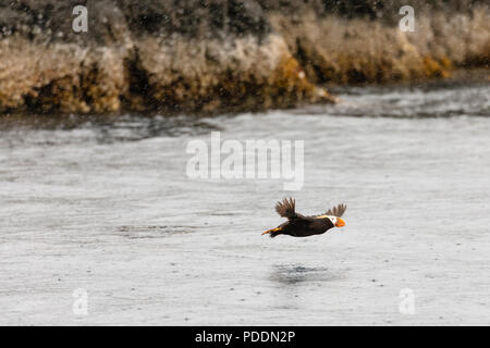 Tufted Puffin flying in Wells Passage in Southcentral Alaska. - Stock Photo