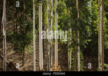 Gum tree forest with white trunks - Stock Photo