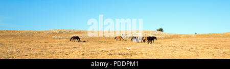 Small herd of Wild Horses on Sykes Ridge in the Pryor Mountains Wild Horse Range in Montana United States - Stock Photo