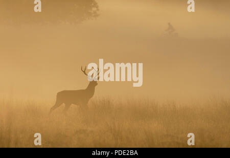 Red Deer Stag Richmond Park UK - Stock Photo