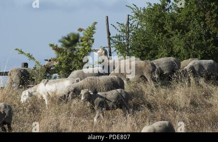 A mixed flock of approximately 300 hundred sheep and goats recently undertook the job of clearing over grown weeds and grass on Travis Air Force Base, May 17, 2018. The animals can easily clear land on steep hillsides and rough rocky terrain, and eliminates the need to dispose of the debris and the use of noisy machinery, while saving time and money. - Stock Photo