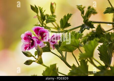 Pelargonium orsett plant and flower on natural background - Stock Photo