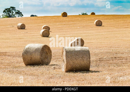 Bales of straw after harvesting wheat on the outskirts of Moulton, Northampton, UK. - Stock Photo