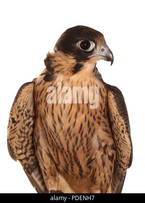 portrait of perigrine falcon in a studio - Stock Photo