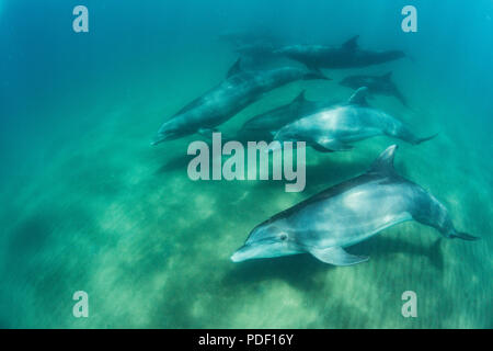 A pod of common bottlenose dolphins, Tursiops truncatus, underwater at El Mogote, Baja California Sur, Mexico. - Stock Photo