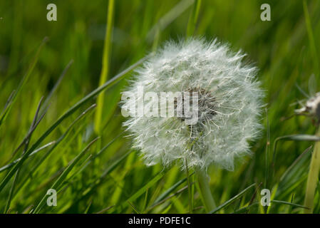 Seedhead of a dandelion, dandelion clock, Taraxacum officinale, in grassland, Berkshire, May - Stock Photo